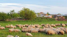 Sheep Herd on a Beautiful Green Meadow Stock Photos
