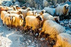 Sheep herd Royalty Free Stock Image