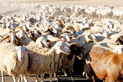 Free Sheep Herd, Castile And Leon, Spain Royalty Free Stock Photography - 219782527