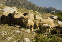 Sheep herd closeup. Closeup view of sheep herd in the mountains stock photography