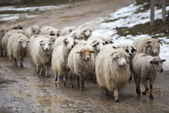 Sheep. Herd of sheep coming from grazing with selectiv focus Stock Images
