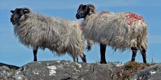 Sheep, Herd, Cow Goat Family, Livestock stock photography