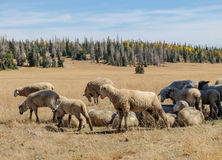 Sheep Herd in Dixie National Forest Royalty Free Stock Photography