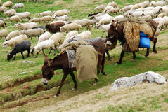 Sheep herd and donkeys. A herd of sheeps and donkeys coming to mountains in springtime stock photography