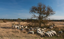 Sheep herd Royalty Free Stock Image