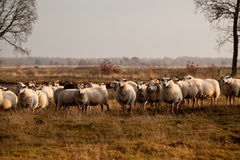 Sheep herd in Dwingelderveld Royalty Free Stock Photo