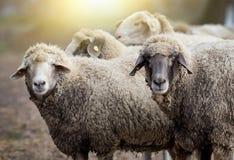 Sheep herd on the farm Royalty Free Stock Photo