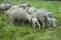 Sheep Herd. Sheep farm - sheep and lambs - closeup - green grass - trees - spring time Stock Photos