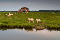 Sheep herd at farm by river Stock Photo