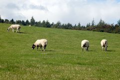 Sheep herd are feeding on grassland stock photos