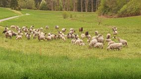 Sheep herd grazing in the countryside Royalty Free Stock Images