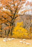 Sheep herd grazing and Fall color Royalty Free Stock Photo