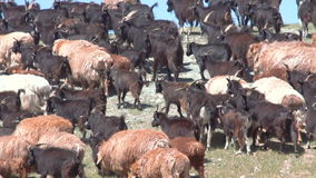 Sheep herd grazing on the green field stock footage