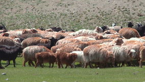Sheep herd grazing on the green field stock video footage