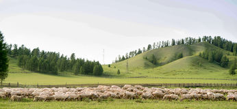Sheep herd grazing in a meadow. A meadow sheep herd grazing Stock Images