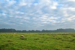 Sheep herd grazing on pasture Stock Photo