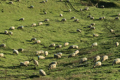 Sheep Herd on Green Grass Field Royalty Free Stock Images