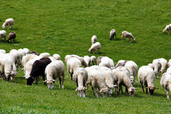 Sheep herd in a green meadow. Spring fields and meadows Stock Photography