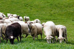 Sheep herd in a green meadow. Spring fields and meadows Royalty Free Stock Photo
