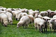 Sheep herd in a green meadow. Spring fields and meadows Royalty Free Stock Image