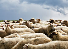 Sheep herd in a green meadow. Spring fields and meadows Stock Photos