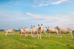 Sheep herd on green pasture Royalty Free Stock Photography