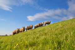Sheep herd on green summer pasture Royalty Free Stock Images