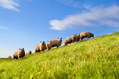 Sheep herd on green sunny pasture Stock Photos
