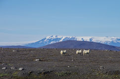 Sheep herd on the  highlands of the glacier Vatnajökul Royalty Free Stock Photos