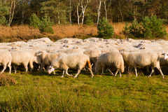 Sheep herd in Holland Royalty Free Stock Images