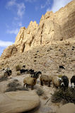 Sheep herd in Jordan desert. Royalty Free Stock Image