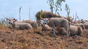 Sheep, Herd, Livestock, Cow Goat Family royalty free stock photo