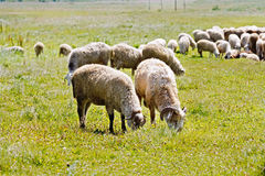 Sheep herd on a meadow Stock Photo