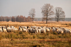 Sheep herd before sunset in Dwingelderveld Royalty Free Stock Photo