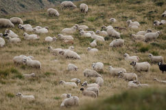 Sheep herd on mountain plateau Royalty Free Stock Images
