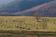 Sheep. Herd near tree on the fields Royalty Free Stock Images