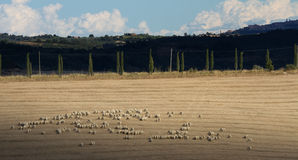 Sheep herd in the the Orcia Valley Royalty Free Stock Photography