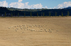Sheep herd in the the Orcia Valley Stock Image