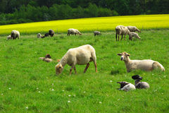 Sheep herd on pasture Royalty Free Stock Photography