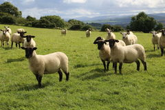 Sheep. A herd of sheep on a pasture in Ireland stock photography