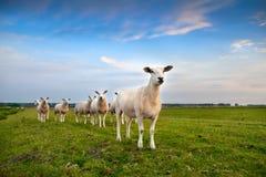 Sheep herd on pasture Royalty Free Stock Photos