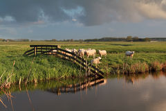 Sheep herd on pasture by river Stock Photography