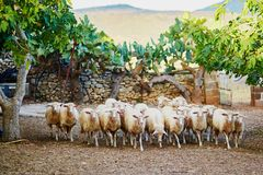 Sheep herd on pasture in Sardinia Royalty Free Stock Photo