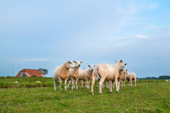 Sheep herd on pasture Stock Photo