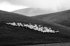 Sheep. An herd of sheep pasturing on a meadow near Castelluccio di Norcia Stock Photo