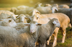 Sheep herd Royalty Free Stock Photos