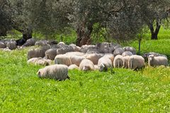 Sheep Herd Resting in the Olive Tree Shadow Royalty Free Stock Photography