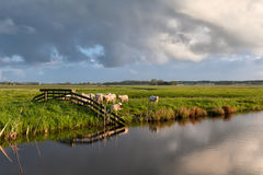 Sheep herd by river on pasture Royalty Free Stock Images