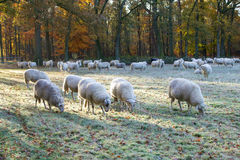 Sheep herd. A shot of a herd of sheep in a beautiful autumn colored landscape Royalty Free Stock Photo