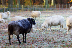 Sheep herd. A shot of a herd of sheep in a beautiful autumn colored landscape Stock Photography